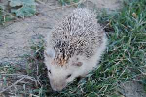 Algerian hedgehog (atelerix algirus) photographed in Malta, Maltese name for hedgehogs is qanfud