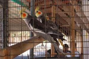 cockatiel Quarrion Weiro malta zoo LWS animal park Inspire Marsascala