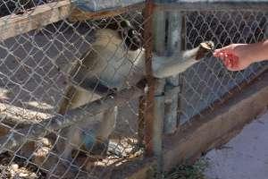 macaque monkey green LWS animal park malta Inspire Marsascala