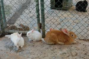 rabbits malta flemmish giants LWS animal park Inspire Marsascala zoo