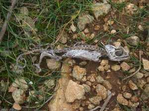 Maltese Chamaeleonidae Common Chamaeleon (Chamaeleo chamaeleon) skeleton photographed on the island of Malta
