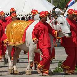 why are white cows sacred to Hindus and to the ancient egyptians