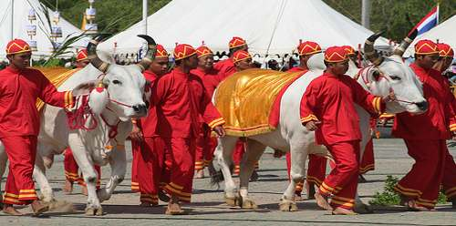 why are white cows sacred and holy to hindus especially in india - myths and legends explained
