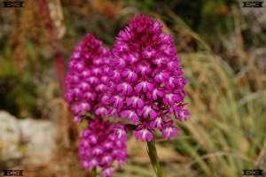 maltese maltas wild flowers purple spring Gnejna Bay