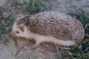 young hedgehogs qanfud malta mediterranean photos photographs